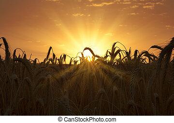 Al amanecer en el campo de trigo