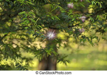 albizia, árbol, -, julibri, persa, seda