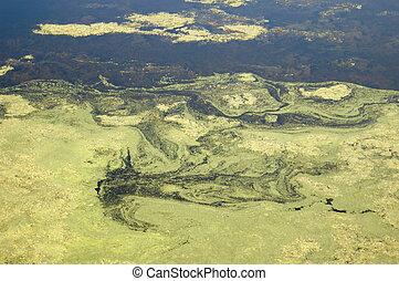 Algas de pantano