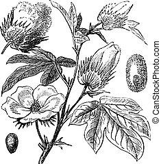 Algodón de Pima o algodón sudamericano o creol o de la isla del mar algodón o algodón egipciano o gosypium barbándensado