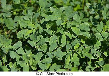 Algunas ramitas de hojas de alfalfa