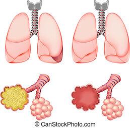 alveoli, conjunto, pulmones