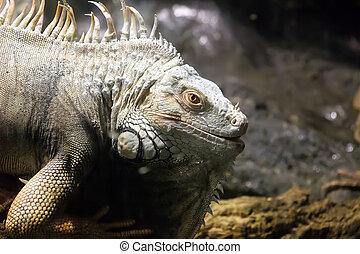 américa, central, iguana), (iguana, arbóreo, herbívoro, o, común, lagarto, verde, grande, género, nativo, especie, sur, iguana