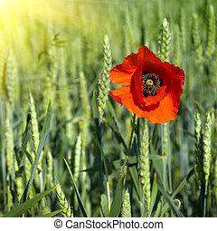 Amapola en el campo de trigo verde