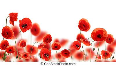 amapola, flores, plano de fondo, aislado, blanco
