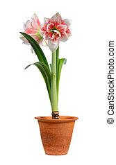 amaryllis, florecer