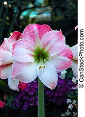 amaryllis, rosa