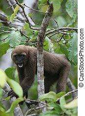 amazon, lanoso, mono