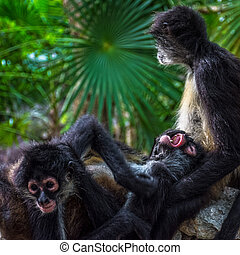 Amor mono