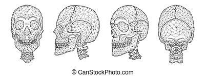 anatómico, conjunto, superior, ilustración, parte, modelos, lado, espalda, humano, cráneos, cráneo, vector, frente, neck., polygonal, vista.