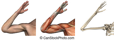 anatómico, overlays, -, derecho, brazo