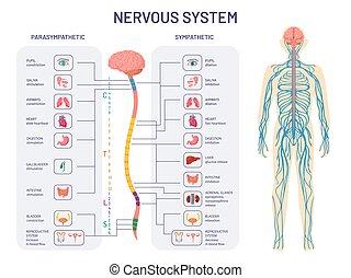 anatomía, órganos, nervios, nervioso, functions., espinal, diagrama, interno, comprensivo, humano, controles, parasimpático, vector, system., cuerda, cuerpo