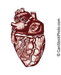 Anatomía cardíaca humana