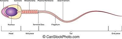 Anatomía celular de esperma