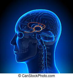 Anatomía cerebral, sistema límbico