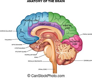 anatomía, cerebro humano