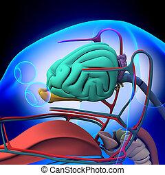 anatomía, cerebro, macho, -, perro
