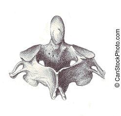 anatomía, cervical, -, vértebra humana