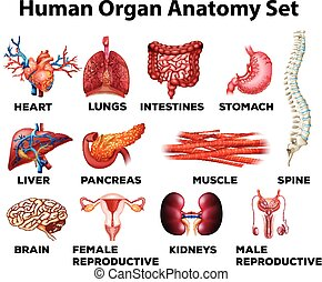 anatomía, conjunto, humano, órgano