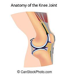 anatomía, coyuntura, rodilla