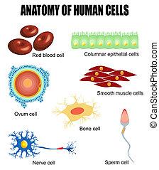 Anatomía de células humanas