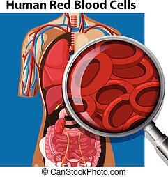 Anatomía de células rojas humanas