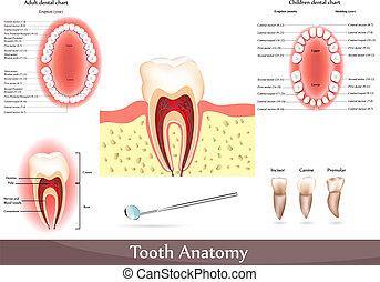 Anatomía de dientes