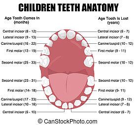 Anatomía de dientes de niños