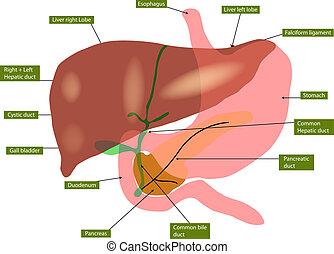 Anatomía de hígado y vesícula biliar