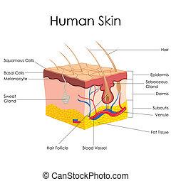 Anatomía de la piel humana