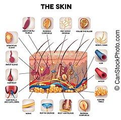 Anatomía de piel