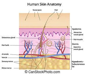 Anatomía de piel humana