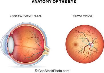 Anatomía del ojo, sección cruzada y vista del fondo