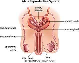 Anatomía del sistema reproductivo masculino