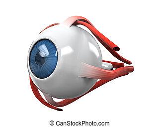 anatomía, disección, ojo, humano