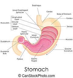 Anatomía estomacal humana