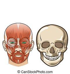 Anatomía facial humana y cráneo en Vector