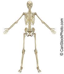 anatomía, frente, esqueleto, humano, vista