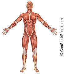 anatomía, frente, macho, muscular, vista