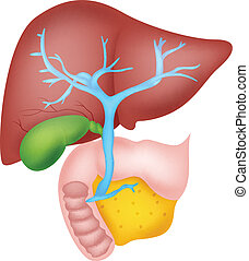 Anatomía hepática humana