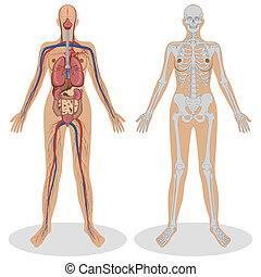 Anatomía humana de mujer