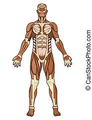 Anatomía humana en vector