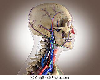 Anatomía humana, estructura cerebral, ojos, etc