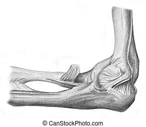 anatomía, -, humano, articulación