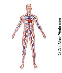 anatomía, humano, circulación