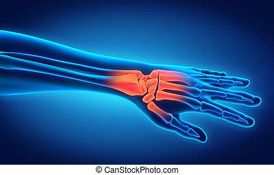 anatomía, humano, ilustración, mano