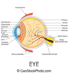 Anatomía ocular humana