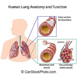 Anatomía pulmonar humana y función eps8