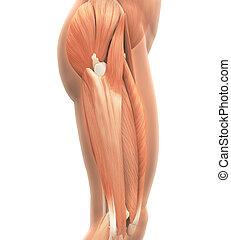 anatomía, superior, músculos, piernas