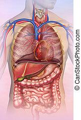 anatomía, tronco, humano, del